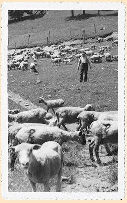 si_sheep.jpg